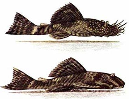 Самец (сверху) и Самка Анциструса обыкновенного