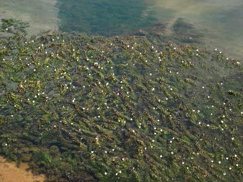 Заросли элодеи в пруду