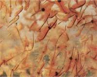 Артемия салина
