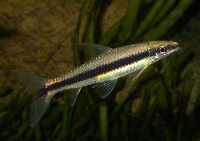 Сиамский водорослеед (Crossocheilus siamensis)