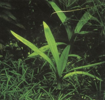 Амазонка (эхинодорус амазонский)