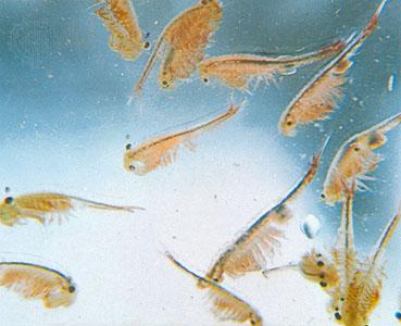 Пресноводная артемия (Fairy Shrimp)