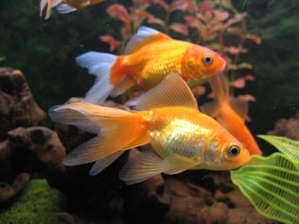 Рыбки для небольшой квартиры