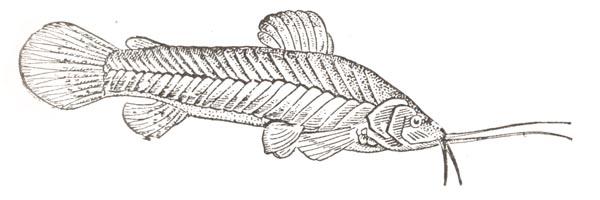 Каллихт