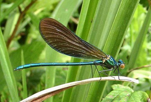 Красотка-дева (calopteryx virgo)