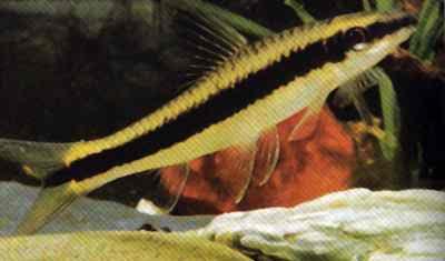 Сиамский водорослеед