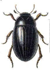 Водолюб малый (hydrophilus caraboides)