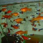 Меченосцы в общем аквариуме