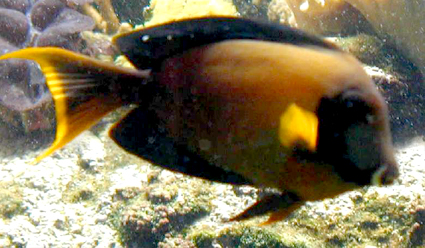 ACANTHURUS TRIOSTEGUS, Convict surgeonfish (Акантурус триостегус, Осужденный хирург)