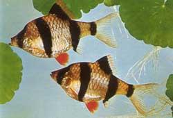 Барбус суматранский, или четырехполосый (barbus tetrazona tetrazona)