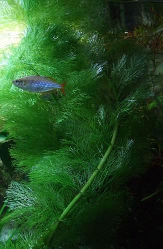 Лимнофила быстро заполоняет аквариум