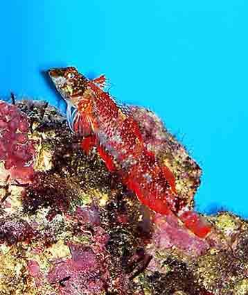 Красный троепёр (Tripterygion tripteronotus)