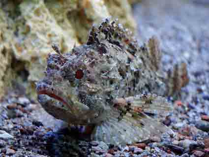 Черноморская скорпена (Scorpaena porcus)