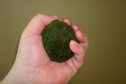 водоросль в виде шара