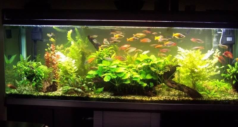 Радужницы в аквариуме