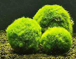 cladophora-aegagropila1