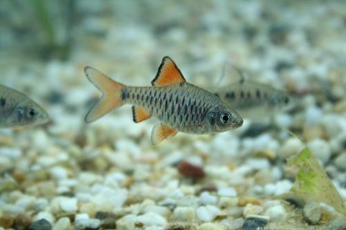 Барбус олиголепис (Barbus oligolepis)