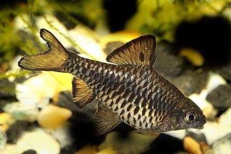 Барбус олиголепис - самец