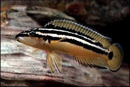 Юлидохромис орнатус (Julidochromis ornatus)