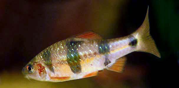 Барбус клоун (Barbus everetti)