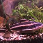 Платидорас полосатый (Platydoras costatus)