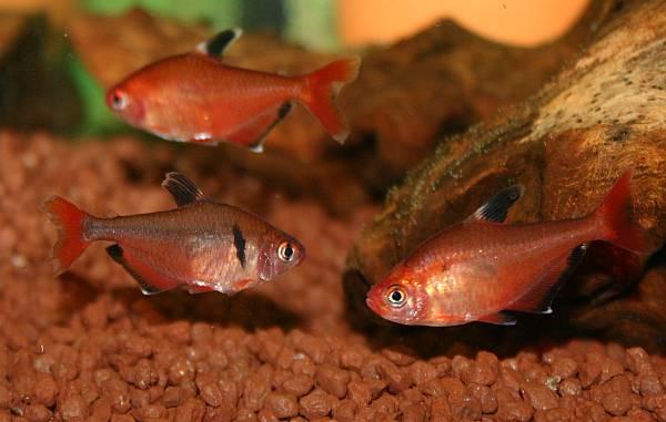 Минор (Hyphessobrycon callistus)