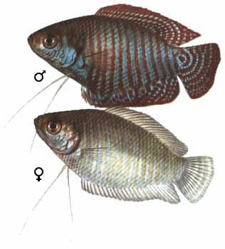 Самец (вверху) и самка. Лялиус (Colisa lalia)