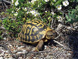 Балканская черепаха (Testudo Hermanni)