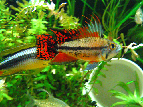 ... about Apistogramma on Pinterest What is this, Cichlids and Cgi