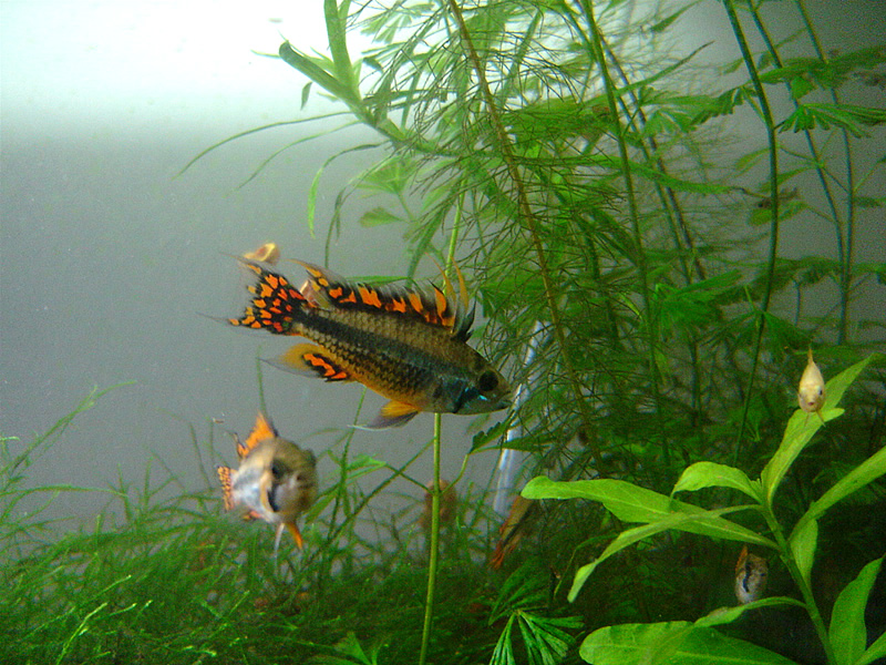 http://aquadomik.ru/wp-content/uploads/2009/12/Apistogramma_cacatuoides_9.jpg