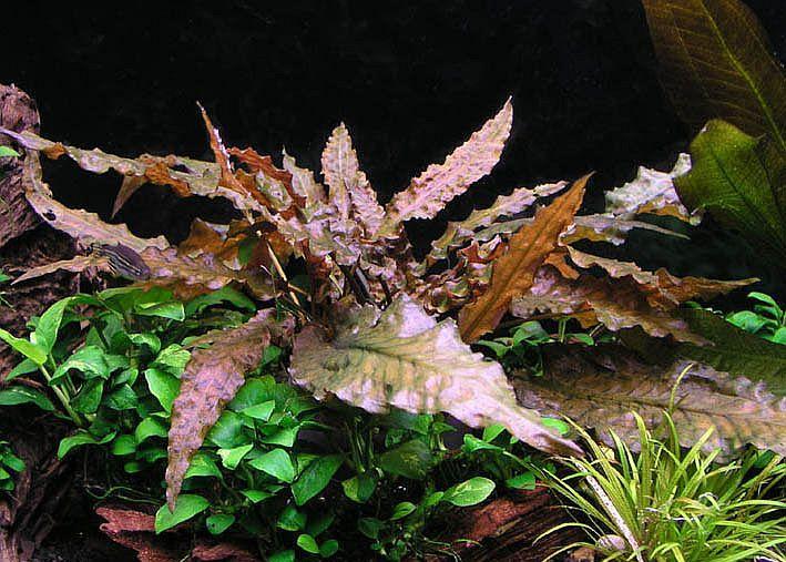 Криптокорина Вендта коричневая (Cryptocoryne wendtii brown)
