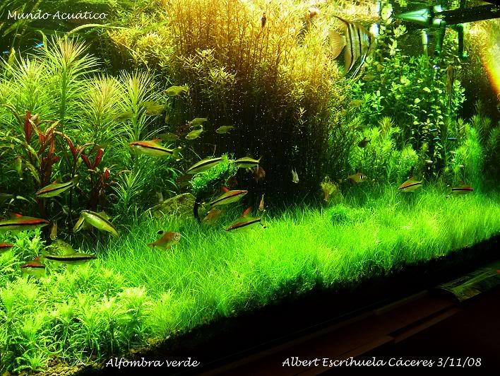 http://aquadomik.ru/wp-content/uploads/2009/12/Eleocharis_parvula_1.jpg