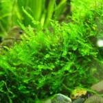 Ручьевой мох (Fontinalis antipyretica)