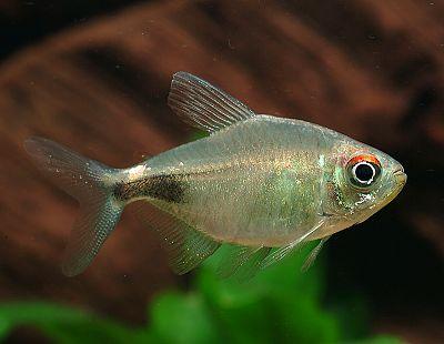 Пульхер (Hemigrammus pulcher)