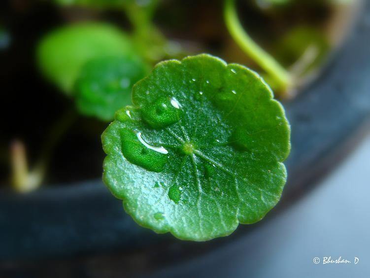 Растения для террариумов, палюдариумов, флорариумов и т.п. Hydrocotyle_verticillata_6