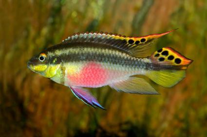 Попугайчик пестрый (Pelvicachromis pulcher)