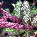 Хемиграфис цветной (Hemigraphis colorata)