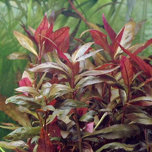 Альтернантера Рейнека (Alternanthera reineckii  var. lilacina)