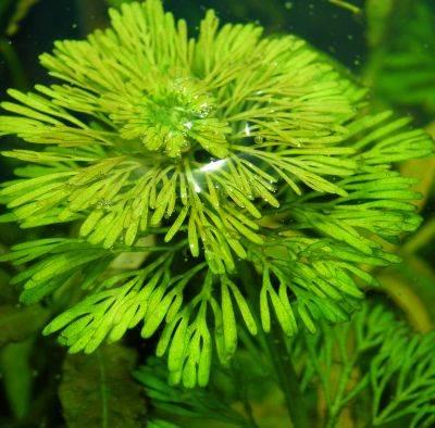 Лимнофила Индийская (Limnophila Indica)