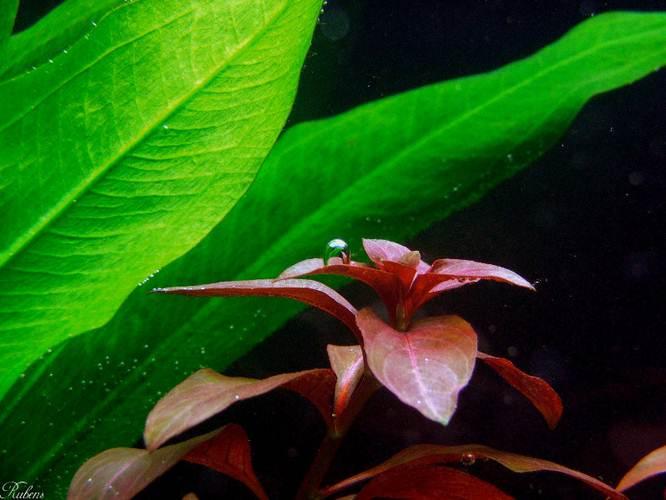Людвигия гландулоза (Ludwigia glandulosa/perennis)