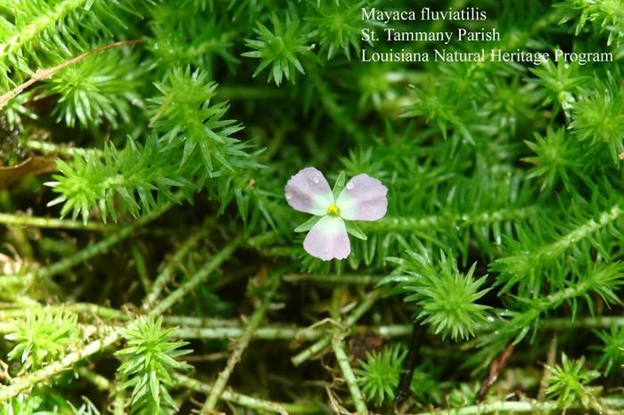 Цветок Майаки
