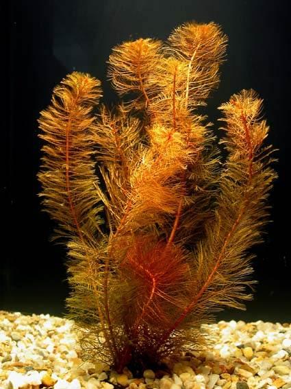 Перистолистник красный (Myriophyllum matogrossensis)