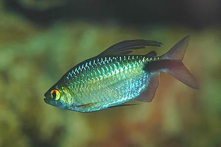 Самец брицинуса