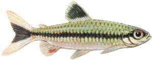 Рисунок Arnoldichthys spilopterus