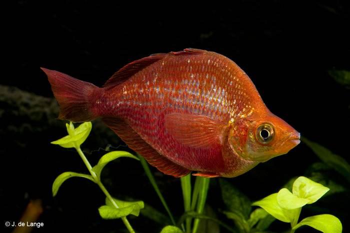 Красный глоссолепис (Glossolepis incisus)