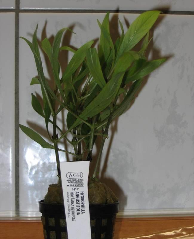 Hygrophila angustifolia (Гигрофила узколистная)