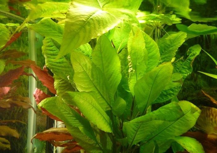 Hygrophila Corymbosa Cherry Leaf