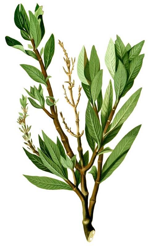 Гигрофила Иволистная Бланко (Hygrophila salicifolia Blanco)