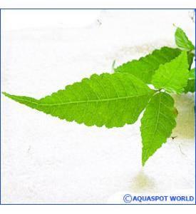 Форма листьев Больбитиса