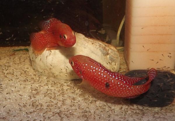 Красная цихлида с мальками
